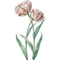 TULIPS! Shabby Chic Flower Art ~ Cottage Chic Vintage Tulip Art Print ~ Antique Pink Red White Flowery Petals ~ Digital Graphic Download