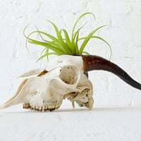10% SALE - O My Goat Garden - Real Skull w/ LIVE Air Plant Toupee