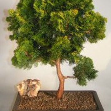 Hinoki Cypress Bonsai Tree (chamecyparis obtusa 'verdoni') 38