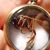 Brown Wasp Specimen Pocket Watch Ossuary Taxidermy