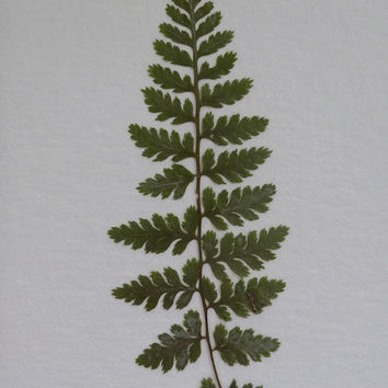 Real Pressed Flower Botanical Herbarium Specimen Art 5x7 Japanese Painted Fern Matted