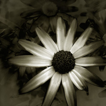 Daisy -floral - Photography by Ann Powell