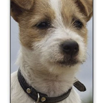 Stout & Serious Jack Russell Puppy Dog - Very Smart iPhone 4 Quality Hard Snap On Case for iPhone 4 4S 4G - AT&T Sprint Verizon - White Case Cover