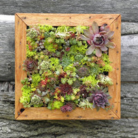 Two Succulent Living Art Picture Frame Kits DIY by sosucculent