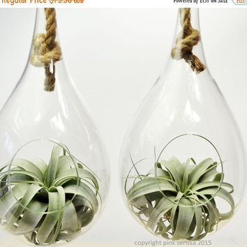 On Sale Air Plant Terrarium// Large Rope Terrarium// Tillandsia Xerographica Terrarium