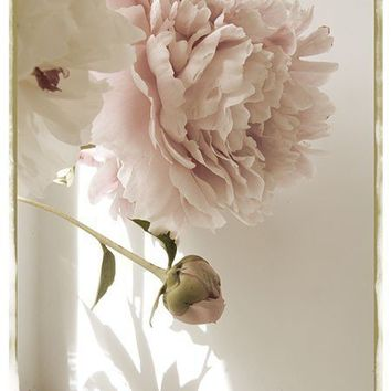 Peony Photograph Vintage Inspired Shabby Chic Wall by JudyStalus