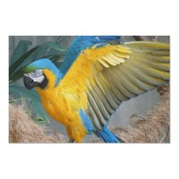 Beautiful Macaw (bird - parrot) Poster