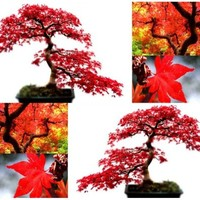 10 x RED MAPLE Tree Seeds - Acer rubrum - EXCELLENT for JAPANESE BONSAI - Grows In Full Sun OR Partial Shade - Zones 5 - 9 - By MySeeds.Co