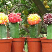 Grafted Colorful Moon Cactus Collection