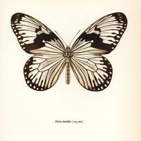 Butterfly Print, Paper White Butterfly Art (50-Year-Old Brown & White Butterfly Art Print) No. 94-1