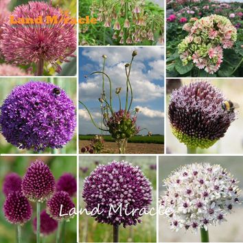 Giant Onion Flower Seeds
