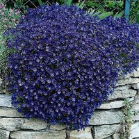 Rockcress Cascading Blue Flower Seeds (Aubrieta Hybrida) 50+Seeds