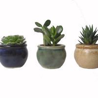 3 Succulent Plant Combination Potted In Round Ceramic Planters Wedding Party Favors Gift