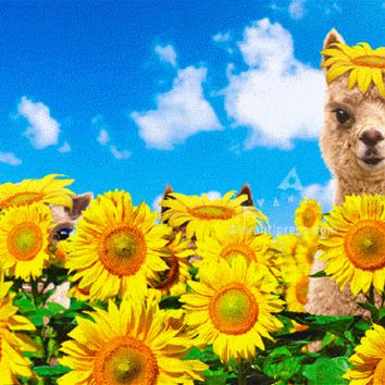 Avanti Alpaca Greeting Card - Happy Sunny, Funny Birthday