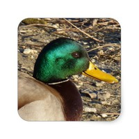 Mallard Duck Stickers