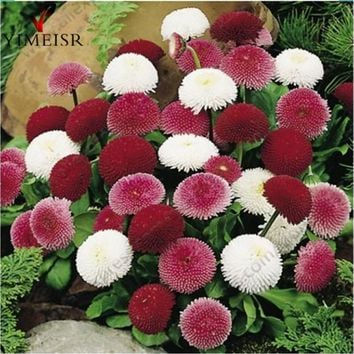 English Daisy seeds Bellis perennis Rare bonsai chrysanthemum flower seeds for Home garden Outdoor plant flowers100seeds/bag
