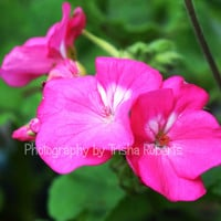 Photography Art Print Nature Pink Garden Flowers Home Decor