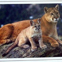 COUGAR AND CUB - MOTIVATIONAL - WILDLIFE POSTER PRINT