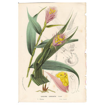 Pink & Yellow Orchid, C. 1860