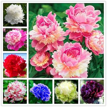 10 pcs/bag rare double peony seeds, perennial peony flowers home garden plant flower seeds Chinese Paeonia Suffruticosa seeds