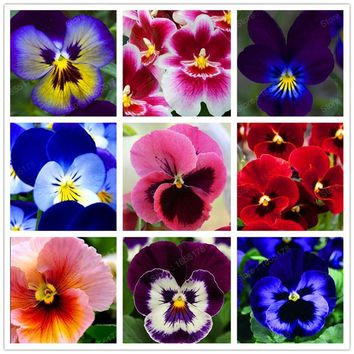 24 colors 100pcs/pack Mexican pansy seeds Wavy Viola Tricolor Flower Seeds bonsai potted plant DIY home & garden Hot sale