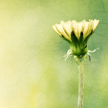 "Nature Photography - dandelion art print - yellow green chartreuse - fine art photography - botanical flower - 8x8 Photograph, ""A New Day"""