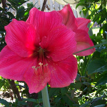 Amaryllis Hippeastrum 50 SEEDS 2013 Season Perennial Flowers Bulbs KING'S RED