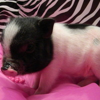 Google Image Result for http://images5.fanpop.com/image/photos/26900000/Teacup-pig-tiny-of-the-tiny-teacup-pigs-26968308-900-506.jpg
