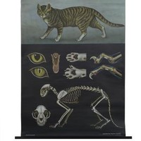 Domestic Cat Zoology Poster