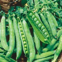The Dirty Gardener Green Arrow Garden Pea Seeds
