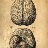 Vintage Anatomy. Brains poster. Human Body. Art Print by Curious Prints