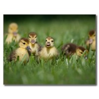 Cutestbabyanimals:  Gifts: Muscovy ducklings: Zazzle.com Store