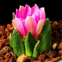 10 Rare Fairy Succulent Cactus Seeds Pink Lotus Plants Home Gardening Flower Pots Planters Balcony