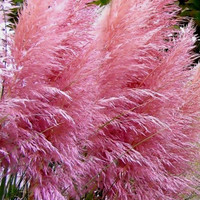 50 - Pink Pampas Grass Seeds - Heirloom Pampas Grass Seeds, Non-GMO Pampas Grass, Heirloom Ornamental Grass Seeds, Non-Gmo Ornamental Grass