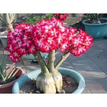 New Adenium Obesum Seeds Desert Rose Bonsai Tree Flower Plant Seed 50PCS/Bag