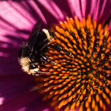 Honey Bee photo Bee photo Echinacea flower picture fine art 8 x 10 turtlesandpeace gift