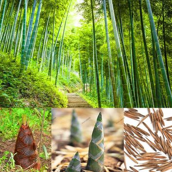 20 pcs moso bamboo seeds,Perennial ornamental plants,Chinese bamboo plant bonsai seeds for DIY Home Garden Plant