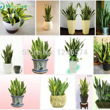 Sansevieria seeds, free shipping cheap Sansevieria seeds, Bonsai balcony flower, Sansevieria potted seed - 100 pcs/bag