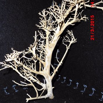 "Tantora DRIFTWOOD (11"" Tall Branchy Hardwood Tree) for mid-size Shrimp/Fish Tank"
