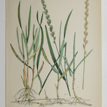 Vintage Botanical Print Old Original 1923 Couch Quack Green Grass Antique Natural History Plants Gifts Under 20 Gifts for Home Garden