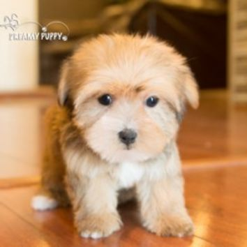 Buy a Morkie puppy , from Dreamy Puppy available only at DreamyPuppy.com Place a $200.00 deposit online!