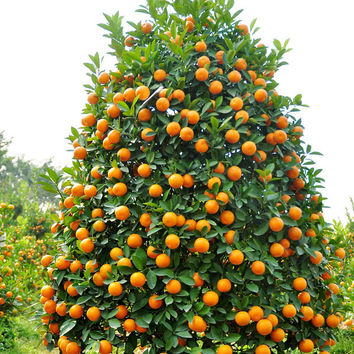 100 Kumquat Seeds, Balcony Patio Potted Fruit Trees Planted Orange Lime Lemon Famlily Tangerine Citrus Home Garden Decor