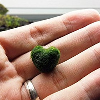 LUFFY Heart x 1- Rare Live Aquarium Java marimo Moss ball Plant Gift for Your Love One! A Symbol of Completeness and Love. for grow a sea Triops Egg /Fun frog kit monkey