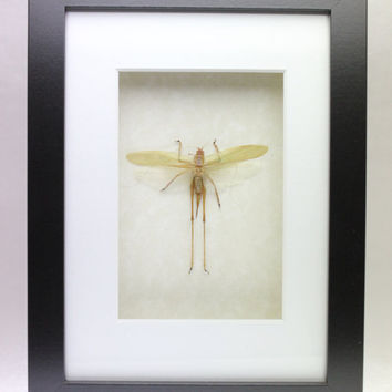 Real grasshopper framed insect bug gift Orthoptera