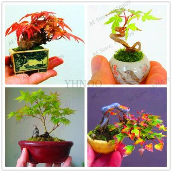 Potted Plant seeds 100% True Japanese Red Maple Bonsai Tree Seeds, 55 Seeds / Pack, Very Beautiful Indoor Tree.