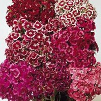 SWEET WILLIAM 100+ SEEDS ORGANIC, BEAUTIFUL CLUSTERS OF FLOWERS