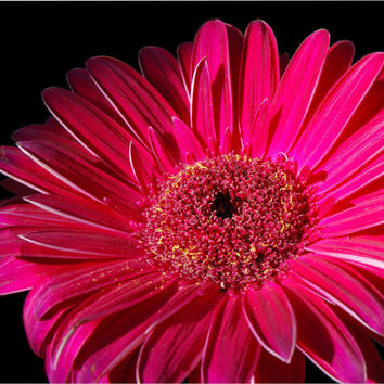 Macro Gerbera printable photograph in pink 10x10 flower photography