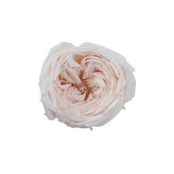 """Box of 8 Preserved Rose Heads in White Champagne - 2"""" Wide"""