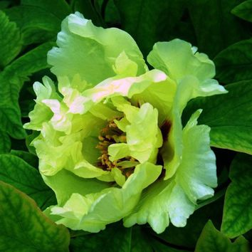 Hot Selling Rare Green Peony Flowers Seeds Potted Plants balcony Flower Chinese Paeonia Suffruticosa Seeds 12 PCS