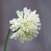 Heirloom 200 Seeds Scabiosa africana Pincushion Mourning-bride White Flower Bulk Seeds B0126